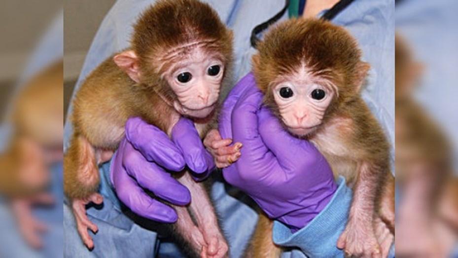 Resultado de imagen para monos clonados